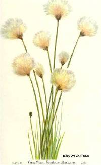 Image of Eriophorum russeolum