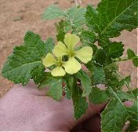 Image of Erucastrum gallicum