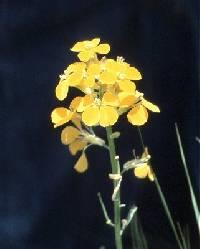 Image of Erysimum cheiranthoides