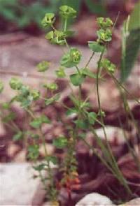 Image of Euphorbia commutata