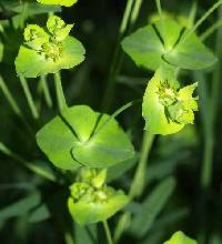 Image of Euphorbia virgata