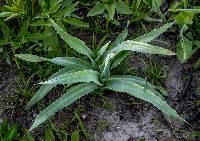 Image of Eryngium