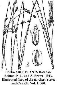 Fimbristylis puberula var. interior image