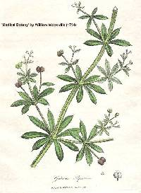 Image of Galium aparine