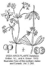 Galium palustre image