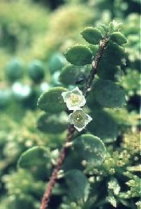 Image of Gaultheria hispidula