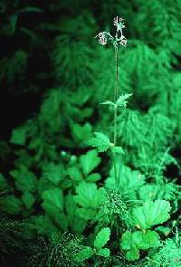 Image of Geum rivale