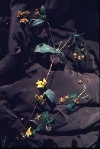 Guizotia abyssinica image