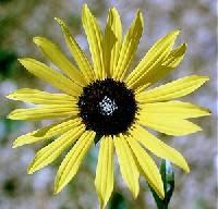 Image of Helianthus petiolaris subsp. petiolaris
