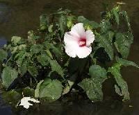 Image of Hibiscus laevis