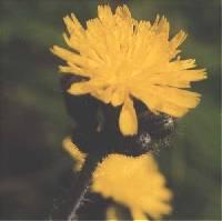 Image of Hieracium caespitosum