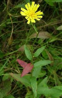 Image of Hieracium umbellatum