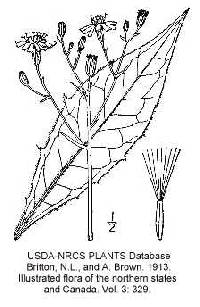 Hieracium lachenalii image