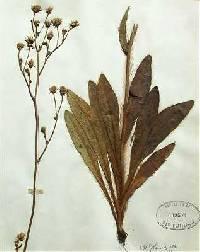 Image of Hieracium longipilum
