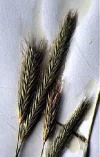 Image of Hordeum pusillum