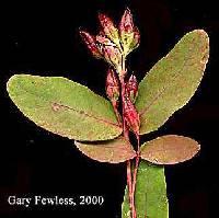 Image of Hypericum ellipticum