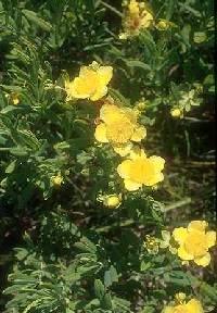 Image of Hypericum kalmianum