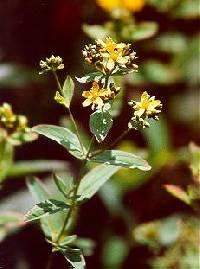 Image of Hypericum punctatum