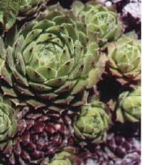 Image of Jovibarba heuffelii