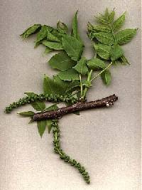 Image of Juglans nigra