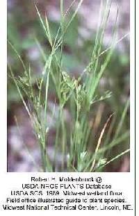 Image of Juncus anthelatus