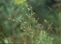 Image of Juncus brachycephalus