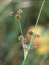 Image of Juncus canadensis