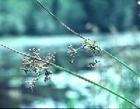 Image of Juncus effusus