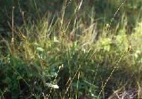 Juncus greenei image