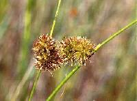 Image of Juncus torreyi