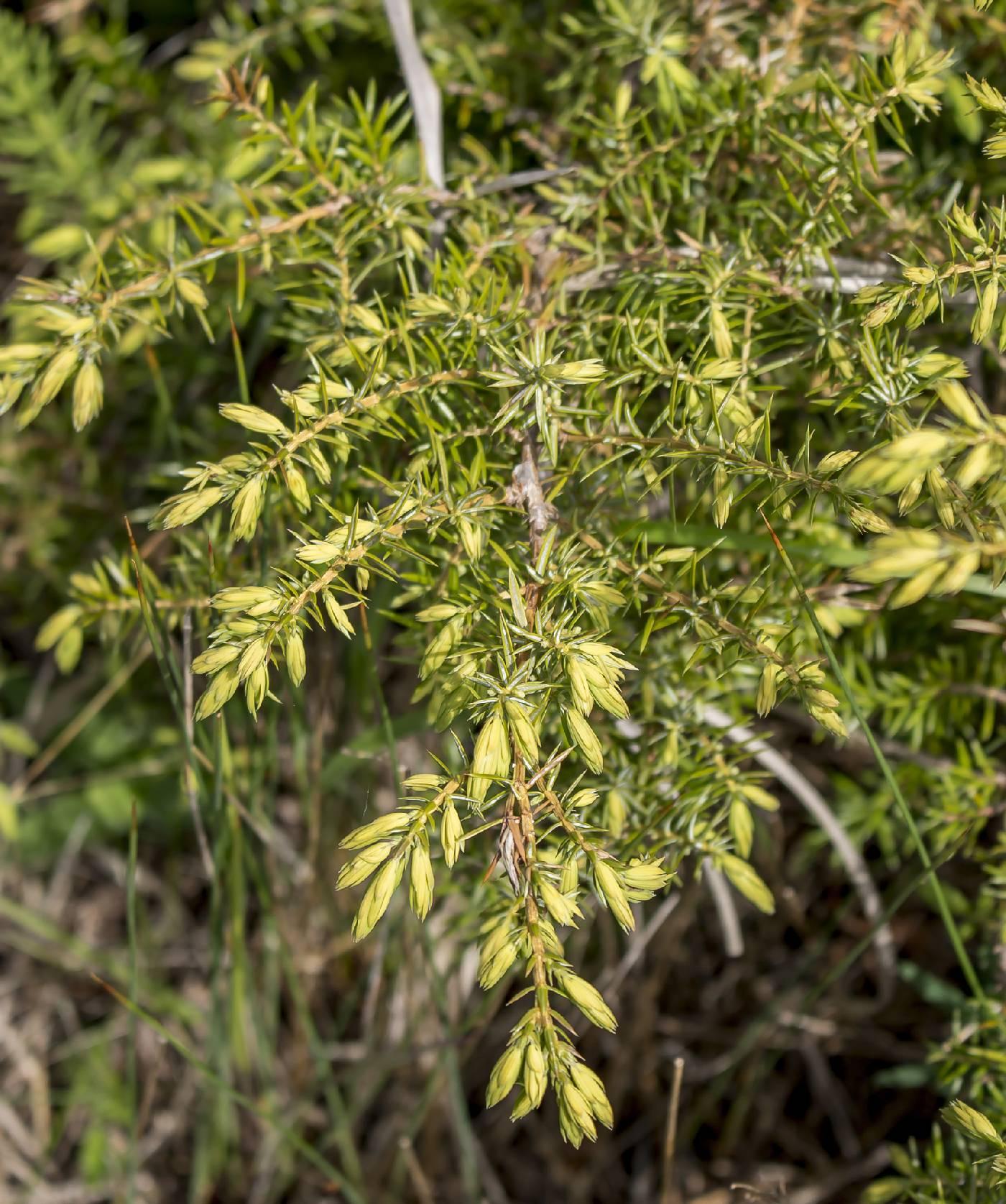 Juniperus communis image