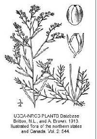 Image of Lechea tenuifolia