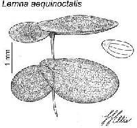Image of Lemna aequinoctialis