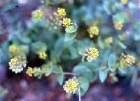 Image of Lepidium perfoliatum