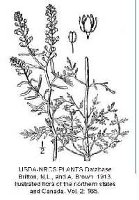 Image of Lepidium ruderale