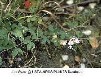 Image of Lespedeza procumbens