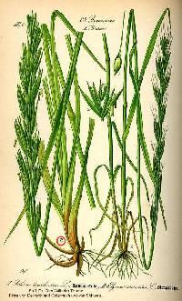Leymus arenarius image