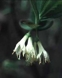 Image of Lonicera canadensis