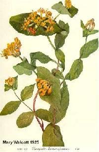 Lonicera dioica var. glaucescens image