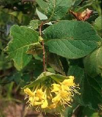 Image of Lonicera hirsuta