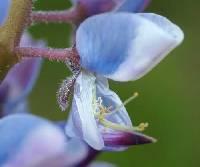 Image of Lupinus perennis