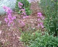 Image of Silene viscaria