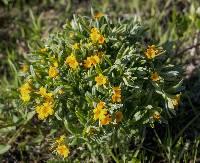 Image of Lithospermum