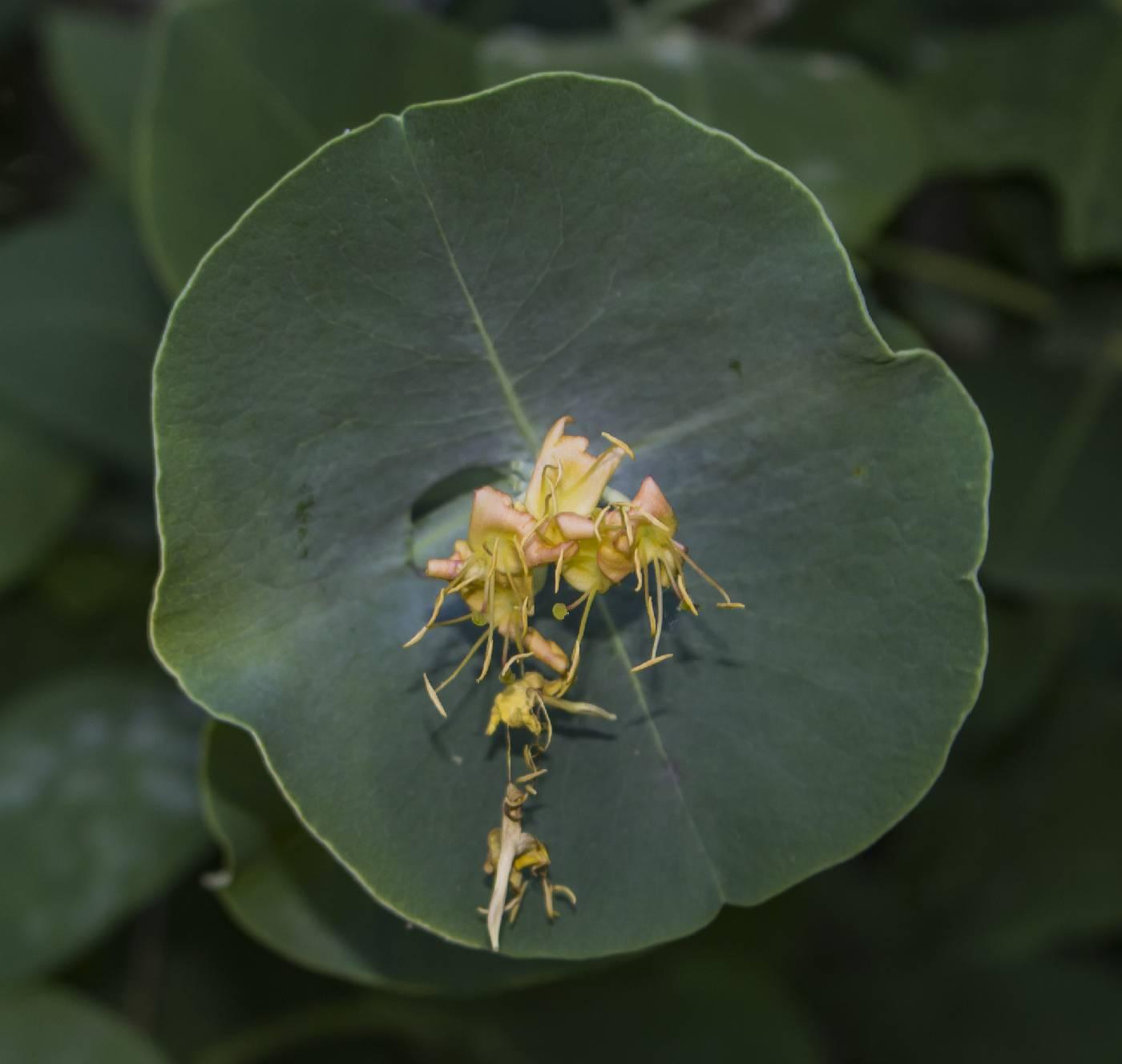 Lonicera reticulata image