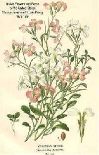 Image of Malcolmia maritima