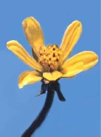 Image of Bidens beckii