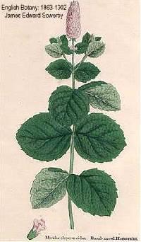Image of Mentha x villosa