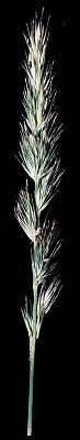 Image of Muhlenbergia glomerata