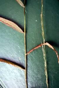 Image of Muhlenbergia tenuiflora