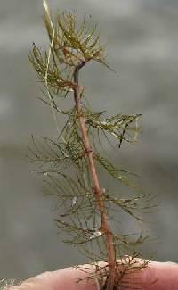 Image of Myriophyllum spicatum